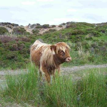 Highland calf - Scotland