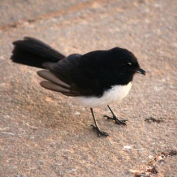 5460 Willy Wagtail, Lake Albert, Wagga Wagga, Oct'09 Kate/Sydney