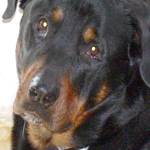 Rocko the gentle rottweiler