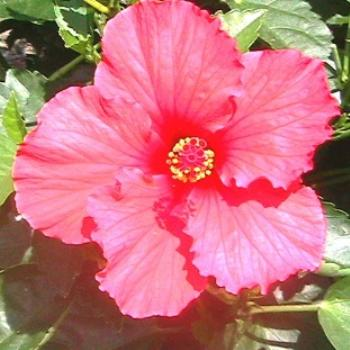 Hibiscus in full bloom