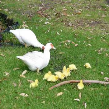 Newly hatched ducklings (Anne, Albany)