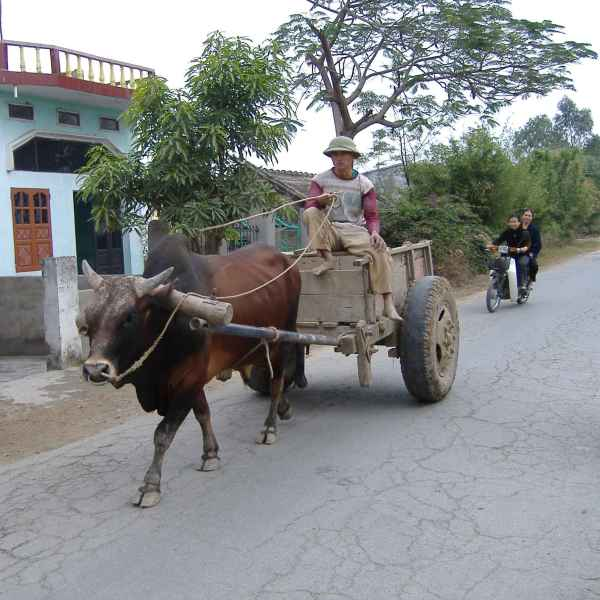 buffalo cart in North Vietnam