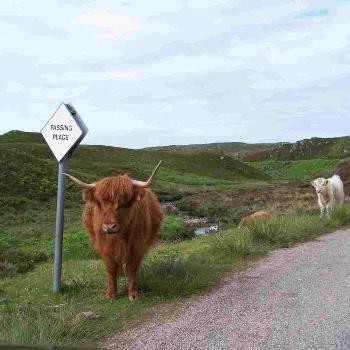 Highland Cow on the narrow Scottish roads