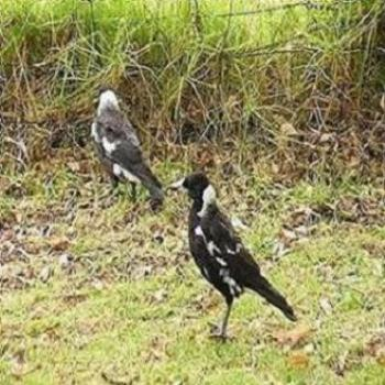 Magpies (not Collingwood)