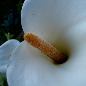 arum lily Kate/Sydney