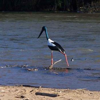 jabiru at Daly River NT