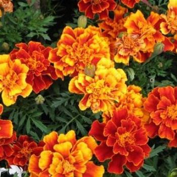 Irish Marigolds