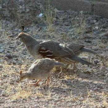 Mama and baby Gamble's quail by Terri of Arizona