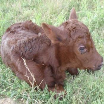 our newborn calf