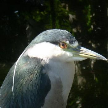 Black-Crowned Night Heron - Jim from Jupiter
