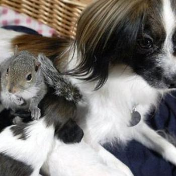 Baby squirrel nurses with puppies