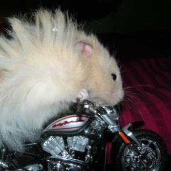 Harry the Harley Hammy