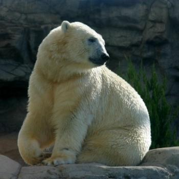 Polar bear SeaWorld Brisbane (Chayote)