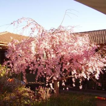 weeping cherry/ joann