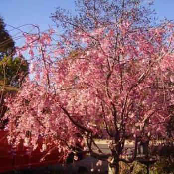 weeping cherry in blossom/ joann
