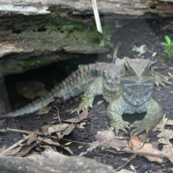 Tuatara, Auckland Zoo, December 2008