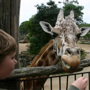 Feeding the giraffe at Auckland Zoo, December 2008