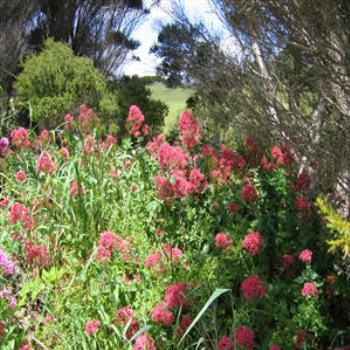 Coastal flowers, Devonport, Tasmania - Wendy/Perth