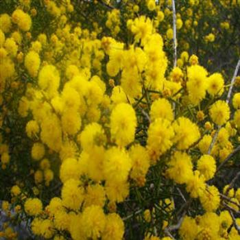 Spring time wattles, Minnivale, West Aust - Wendy/Perth