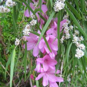 Watsonia & Peppermint flower - Wendy/Perth