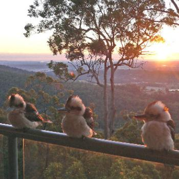 Kookaburra family at Sunrise - Wongawallan QLD