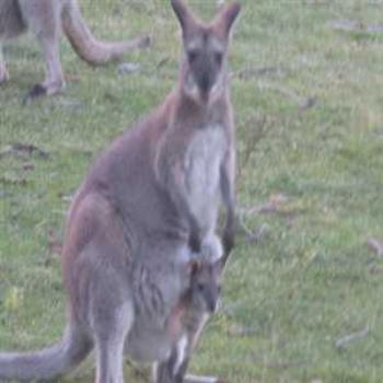 Mama and baby Wallaby (Grampians '09/LankyYank)
