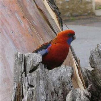 Red Parrot in Cooma, N.S.W. - Wendy/ Perth