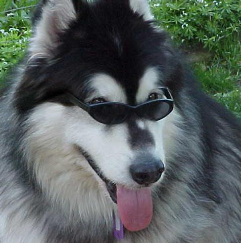 My Dog Bailey, an Alaskan Malamute