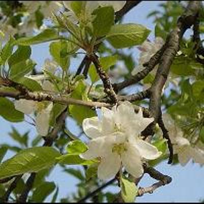 Alabama Apple Blossoms