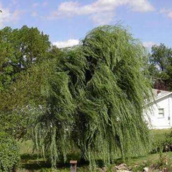 Wind in the willow, NJ, USA