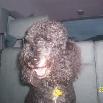 Dooley the famous French Fighting Poodle
