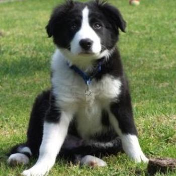 Bowie- 4mth old Male Border Collie