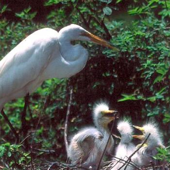 Great Egret, feeding young in nest. Cape Fear coastal area, NC / kr NC