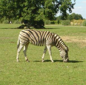 Zebra at Cotswold Wild Life Park Glocestershire UK