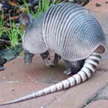 Armadillo on my walkway / Izzie