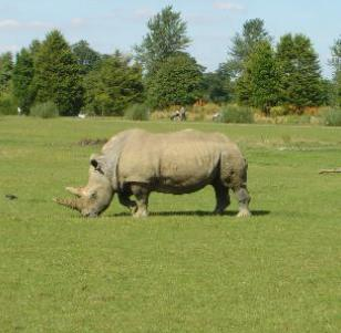 Rhino at Cotswold Wildlife Park Gloucestershire UK