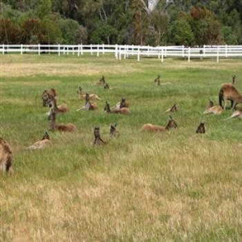 Roos in the paddock, Australind W.A. - Wendy/Perth