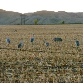 Cranes taking advantage of harvested field near Jenson Utah May 2009 by Wilodene