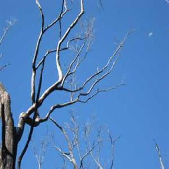 Daytime moon with burned bush (Grampians '09/LankyYank)