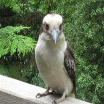 Kookaburra: What you lookin' at??? (Cockatoo, Victoria '09/LankyYank)