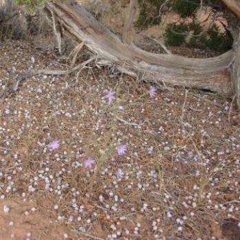 Purple wildflowers growing in midst of fallen purple juniper berries in Utah Halfway Hollow by Wilodene in Sep 2009