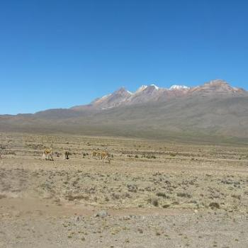 Vicuna grazing on plain between Arequipa & Colca Canyon