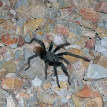 Tarantula in the back yard