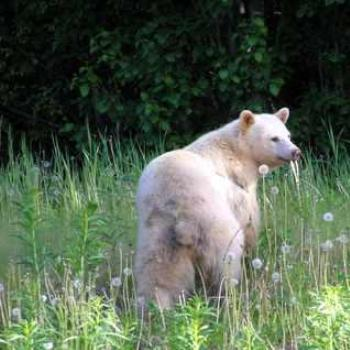 Kermode (Spirit Bear) - Northern British Columbia, Canada