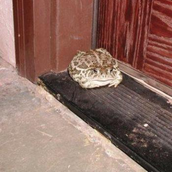 Toad showing up on doorstep during non-monsoon season in Arizona