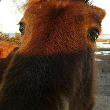 """Wild"" pony of Assateague Island, Maryland"