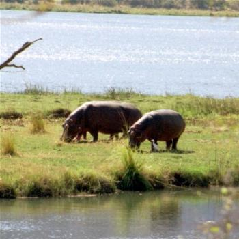 More Hippos on the Zambezi