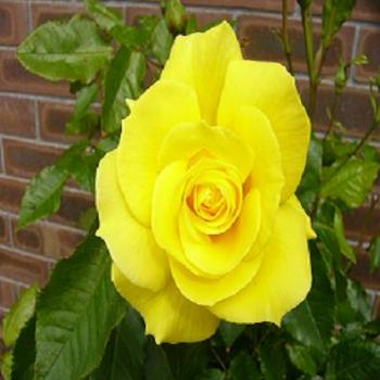 My yellow rose