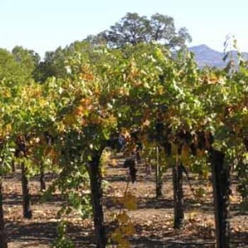 Vines before harvest in Oct, Napa Valley, CA