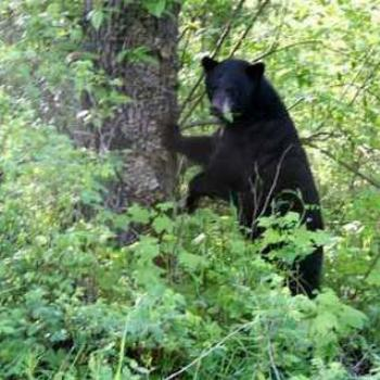 This is a Canadian black bear, not a dog or a cat. The bear ate them. (CG)